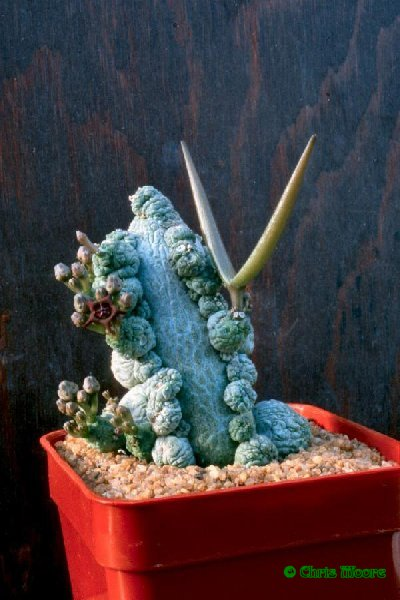 http://www.asclepiad-exhibition.org/Pseudolithos_migiurtinus_Chiov._Bally_x_P._dodsoniana_Lavranos_Plant.jpg